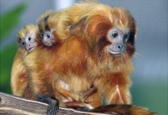 القرد الذهبي نوع من قرود العالم القديم وجدت في الجبال البركانية