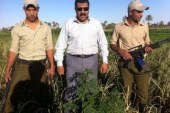 ضبط اراضي مزروعة باشجار الخشحاش والبانجوبقرية عرب الكلابات مركز الفتح