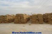 17 شونة و3 صوامع لاستقبال محصول القمح بالقليوبية