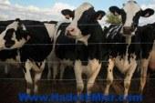 الجارديان: أستراليا تعيد تصدير الماشية لمصر بشرط ذبحها بطريقة رحيمة
