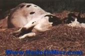 مباحث ابوتيج باسيوط تضبط  لحوم مذبوحة  خارج المذبح بعد علمهم بمرضها