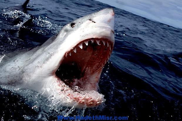 سمكة قرش تلتهم صياد جنوب القصير