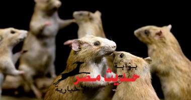 عجلات التمارين تجذب الفئران البرية أيضا