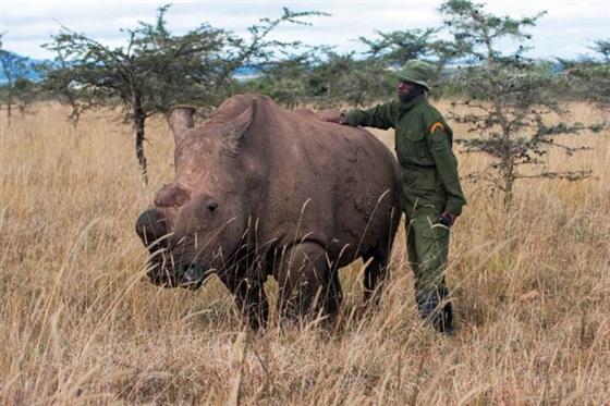 دراسه مسلحة لآخر ذكر وحيد القرن الأبيض في العالم