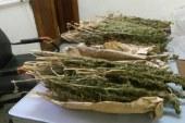 هروب تاجر مخدرات بعدضبط 306 شجرة بانجو بأسيوط