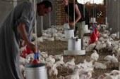 الطب البيطرى بالمنيا: إغلاق 21 مزرعة دواجن لرفض أصحابها تحصين الطيور  .