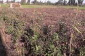 """""""الزراعة"""": 190 ألف فدان منزرعة بالقطن بنسبة 72% من المستهدف"""