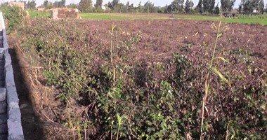 الزراعة: ارتفاع المساحات المنزرعة قطن لـ139 ألف فدان بنسبة 53% من المستهدف