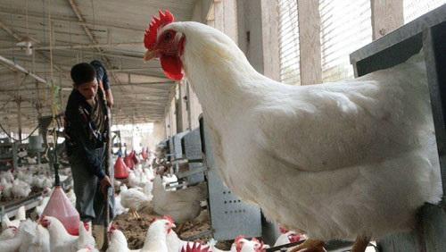 وزارة الزراعة: لا داعي للقلق من فيروس أنفلونزا الطيور