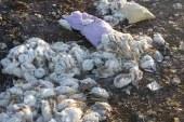 بالصور..تحت رعاية مجلس ومدينة القوصية ..الدجاج النافق بنهر النيل