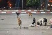 حى الخليفة يقتل 74 كلبا ضالا بالشوارع بعد تكرار شكاوى المواطنين