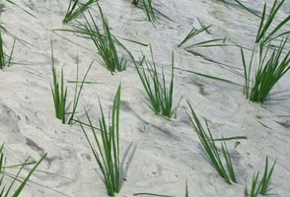 فريق بحثى صينى يعلن نجاح زراعة الأرز فى صحراء دبى