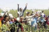نقيب الفلاحين: زراعة القطن في مصر تمر بمرحلة حرجة