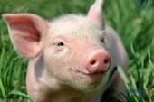 بعد كورونا.. مخاوف فى الصين من أنفلونزا الخنازير وحدوث وباء عالمى ثانٍ