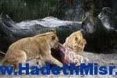 """حديقة حيوان الدنمارك تعدم """"زرافة"""" لتمنع التزاوج بين الاقارب"""