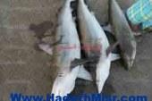مصادرة كمية من أسماك القرش الصغير من أحد مطاعم الغردقة