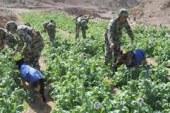 حملة امنية على منطقة بئر العبد بشمال سيناء للقضاء على زراعة المخدرات