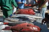 """""""المصرية للجملة"""" تعلن عن طرح الأسماك بأسعار مخفضة فى محافظات الوجه القبلى"""