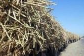 """""""زراعة قنا"""": توريد 15 مليونًا و184 ألف طن من قصب السكر إلى المصانع"""